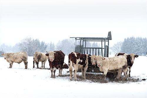 Quelques vaches ont survécu au désastre, mais l'assurance habitation à Lévis va-t-elle rembourser les vaches mortes ?
