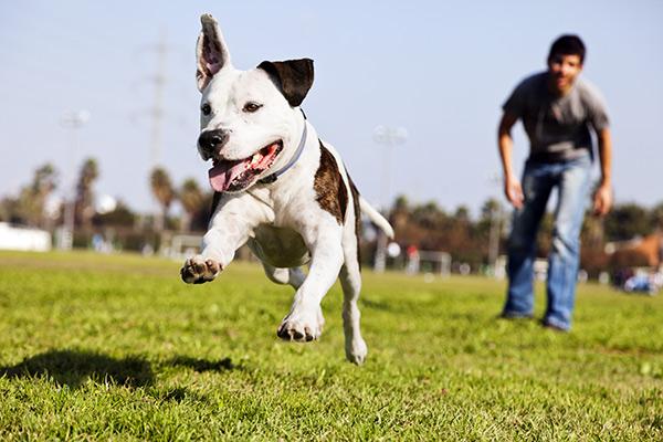 Vos pitbulls peuvent-ils être couverts par une assurance habitation à Trois-Rivières ?